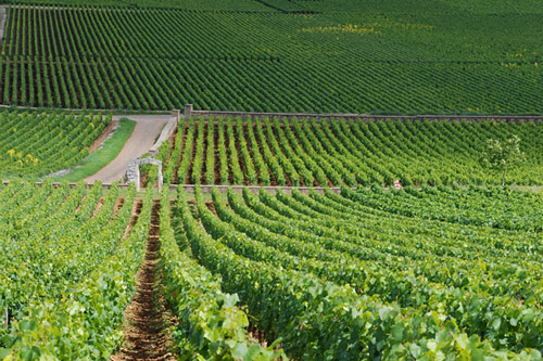 The vineyards at Le Montrachet in France